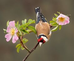 Goldfinch on Wild Rose Pretty Birds, Beautiful Birds, Animals Beautiful, Tropical Birds, Colorful Birds, Stained Glass Birds, Finches, Rare Birds, Kinds Of Birds
