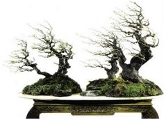 saikei from Hungary windswept bonsai landscape forest