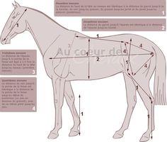 Récapitulatif des proportions idéales d'un cheval Horse Sculpture, Animal Sculptures, Horse Drawings, Animal Drawings, Bird Design, Animal Design, Horse Themed Bedrooms, Arabian Art, Horse Anatomy
