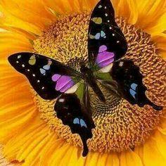 'Purple Butterfly On Sunflower' by Garry Gay Papillon Butterfly, Butterfly Kisses, Purple Butterfly, Butterfly Flowers, Butterfly Wings, Mariposa Butterfly, Flying Flowers, Beautiful Bugs, Beautiful Butterflies