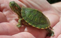 Where to buy baby red eared slider turtle for sale online baby red ear slider turtles for sale online from baby turtle for sale online turtle store turtle breeder. Turtles For Sale, Mini Turtles, Baby Turtles, Water Turtles, Baby Red Eared Slider, Red Eared Slider Turtle, Turtle Facts, Reptiles, Lizards