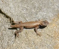 Male Eastern Fence Lizard without a tail - Photo by Alan Wiltsie