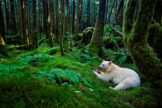 Spirit Bear Widely called spirit bears, a white Kermode bear enjoys a meal of fish in the rainforest. Neither an albino nor a polar bear, the animal is a localized variant of the American black bear.