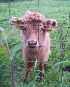 This Scottish Highland calf who can almost poke you through the fence with its eyelashes. | 7 Animals With Better Eyelashes ThanYou