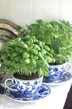 What a beautiful way to grow herbs. These tea cup planters are cute and functional.