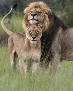 Safari Animals: Lion-Davisons-Camp-Zimbabwe-Safari by Bushtracks Safari Animals, Nature Animals, Animals And Pets, Cute Animals, Beautiful Cats, Animals Beautiful, Beautiful Couple, Beautiful Pictures, Big Cats