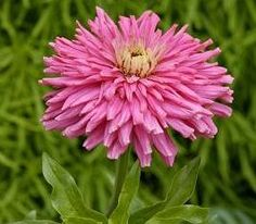 """NB35 Pink Giant Cactus Series Zinnia Mid pink color. Extra large 4"""" quilled flowers, vivid colors, strong stems, grows about 30"""" tall, blooms in 7 weeks from seed.   200mg Package ( about 25 seeds ) $1.95"""