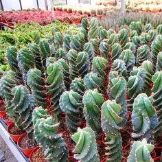 Cereus forbesii Spiralis Cactus Plants, Ebay, Google Images, Succulents, Lawn And Garden, Cacti, Cactus