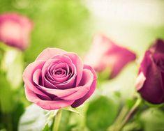 Flower Photography  rose pink valentines day by CarolynCochrane,