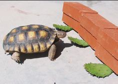 Tortoise Food Cactus Plants Prickly Pear Pads 2 lbs for Grassland or Russian species etc. Pet food Turtle food