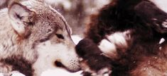 The perfect Wolf Wolves Wilderness Animated GIF for your conversation. Discover and Share the best GIFs on Tenor. Puppy Cuddles, Snuggles, Cuddling Gif, Cute Puppies, Dogs And Puppies, Jack Russell Puppies, Wild Wolf, Short Break, Puppy Care