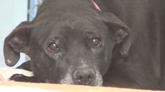 1/10 Still listed on Petharbor..Help!*********Tearful shelter worker videotapes terrified Lab shaking at the back of her cage CARSON, CALIFORNIA !!!!!