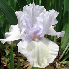 iris irises flower white  Iris 'Iris 'Friday Blues'