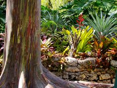 Rainbow Gum in Sunbeams. by gringopeligroso, via Flickr. Fairchild Tropical Botanical Gardens, Miami, Florida, USA