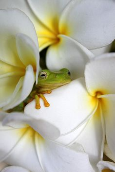 """""""A cute baby dainty green tree frog (Litoria gracilenta) dreamily embraces the soft pillow of a frangipani petal. Surrounding him with warmth, content, as he nestles, he sheds a tear. I wonder why?! He's frangipani dreaming,"""" he says.      - Australian Geographic"""