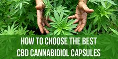 CBD is one of 85 chemical compounds known as cannabinoids that are all found in the cannabis plant. CBD can be extracted in oil form from either marijuana or hemp, both of which belong to the cannabis genus. Cannabis Cures Cancer, Medical Cannabis, Cannabis Oil, Cannabis Plant, Cannabis News, Marijuana Recipes, Weed Memes, Medical Marijuana, Herbs