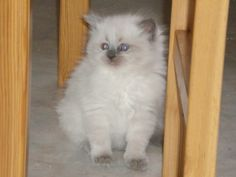 Here is one of my cats short haired breed. The father is my ragdoll cat and the mother was my grey solid short haired female cat. I am glad I breed them as their babies was so unique.
