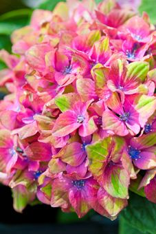 Hydrangea macrophylla 'Glam Rock' (Horwack). This variety is one of the most eye catching hydrangeas available. The rounded flower heads are formed by dozens of red florets with blue centres, each petal tipped with an extraordinary shade of lime green. Found as a chance seedling, this variety is repeat flowering producing a second flush of flowers later in the season. As with many varieties, 'Glam Rock' produces varied colour tones depending on the soil pH. Hardy shrub. Height and spread…