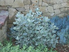 Kalanchoe bracteata - Silver Teaspoons is a small compact shrubby succulent plant, up to 4 feet m). The ovate leaves are up to 2 inches cm) long. Blue Plants, Water Plants, Cool Plants, Cactus Plants, Cacti Garden, Fruit Garden, Types Of Succulents, Planting Succulents, Planting Flowers
