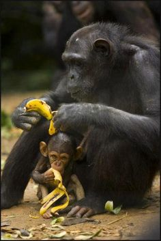 mama chimpanzee and her baby ... Snack time  (Wild for Wildlife and Nature) ... bananas ...