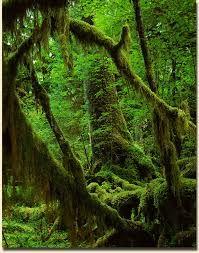 Hoh rainforest Washington - Google Search