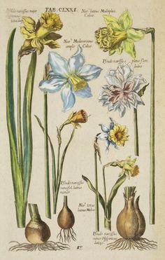 Daffodils ~ Matthaeus Merian (Viridarium Reformatum by Michael Bernhard Valentini, Frankfurt 1719)