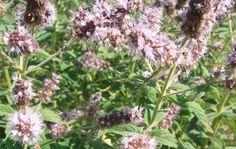 Fürtös menta Plants, Mint, Flora, Plant, Planting