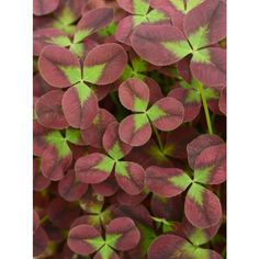 Trifolium Limerick™ 'Isabella' (Trifolium Limerick™ hybrid) Easy-to-grow, Trifolium 'Isabella' has purple leaves with bright green centers in the perfect 3-leaf clover shape. It's ideal for mixed containers since it fills in and spills over the pot's edge.