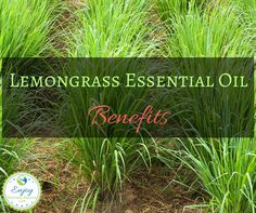 Refreshing and uplifting, lemongrass essential oil is used to treat a wide variety of health problems, including stress and anxiety. Frankincense Essential Oil Uses, Essential Oils For Pain, Lemongrass Essential Oil, Essential Oil Blends, Doterra Lemongrass, Natural Cures, Natural Healing, Coconut Health Benefits, Healthy Oils
