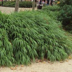 Japanese forest grass hakonechloa macra aureola for Japanese mounding grass