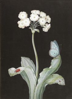 View A primula with a butterfly and a red beetle against a black background by Barbara Regina Dietzsch on artnet. Browse upcoming and past auction lots by Barbara Regina Dietzsch. Botanical Drawings, Botanical Prints, Red Beetle, Illustration Blume, Science Illustration, Chinoiserie Wallpaper, Merian, Vintage Artwork, Floral Illustrations