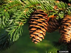 Pictures, video and audio of Yellow Spruce also known as Picea rubens. Find images, photos, movies and sounds of Yellow Spruce (Picea rubens) at the Encyclop. Canadian Forest, Native Canadian, Alien Plants, Spruce Pine, Pine Branch, Branches, Forest Service, How To Make Paper, Bright Green