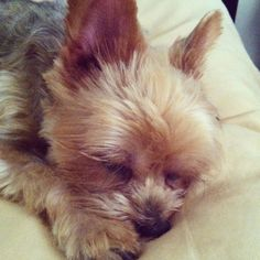 All tuckered out #yorkie #yorkies