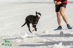 Luke Skywalker, Boston Terrier, Dogs, Animals, Pet Dogs, Animales, Animaux, Doggies, Boston Terriers