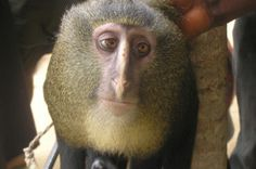 9cbb35373f9c9 A new monkey species has been found in the rain forest of the Democratic  Republic of Congo. A new monkey species has been found in the rain forest  of the ...