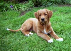nova scotia duck tolling retriever. I want this puppy, right now. This will be my first dog, absolutely.