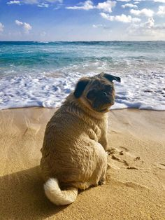 """Receive excellent pointers on """"black pug"""". They are offered for you on our web site. Cute Pug Puppies, Black Pug Puppies, Cute Pugs, Dogs And Puppies, Terrier Puppies, Bulldog Puppies, Boston Terrier, Pugs And Kisses, Baby Pugs"""