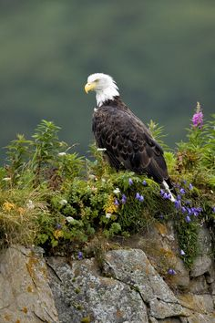 Bald Eagle in Wild Flowers by Mike Johnson, via 500px