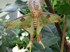 Comet Moth, (Argema Mittrei), Kew   Moth  Gardens, London  (I know it's not a butterfly, but there are few moths worthy of pictures!)