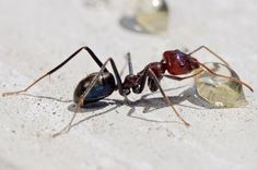 How to Get Rid of Sugar Ants? How to get rid of sugar ants? Ways to kill sugar ants using home remedies. Stop sugar ants infestation. Bug Control, Pest Control, Home Remedies For Ants, Sugar Ants, Household Pests, Household Tips, Get Rid Of Ants, Termite Control, Garden Route