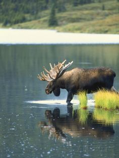 Bull Moose, Denali National Park,  Alaska, USA