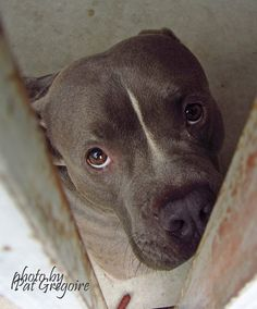 RTO 5/26/15 --- A4833590 I am a 2 yr old male gray/white pit bull mix. I came to the shelter as a stray on May 22. available 5/27/15  NOTE: Pit bulls are not kept as long as others so those dogs are always urgent!! https://www.facebook.com/photo.php?fbid=972527902759047&set=a.705235432821630&type=3&theater