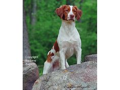 Brittany Spaniel Dog Flag by Barbara Augello for Dogimage - Garden Flag and Large Flag