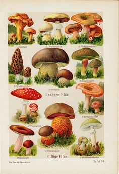 1911 Antique POISONOUS MUSHROOMS print, the most dangerous, 102 years old antique print. $18.00, via Etsy.