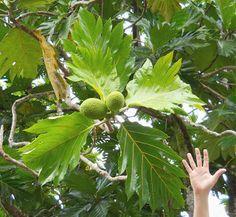 Breadfruit trees in the Hawaiian Garden at Ho'omaluhia Botanical Garden, Oahu