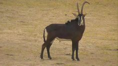 Sable Antelope at Nkorho - Feb 17 2016 - 1:59pm | Africam