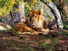Lion hanging around - Lion at the Phoenix Zoo