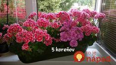 Pani Monika má muškáty ako z rozprávky: Prezradila nám jej tajomstvo bujarého kvitnutia, teraz to môže vyskúšať každý! Floral, Plants