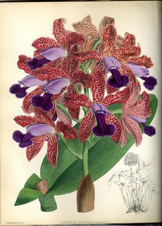 Orchids by Hopkins Rare Books, Manuscripts, & Archives, via Flickr