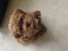 Brown Maltipoo - future brother for Carson? Puppies And Kitties, Teacup Puppies, Cute Puppies, Doggies, Cute Dogs, Toy Maltipoo, Animals For Kids, Animals And Pets, Plushies
